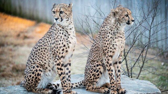 To av gepardene som har flyttet inn i Dyreparken i Kristiansand.