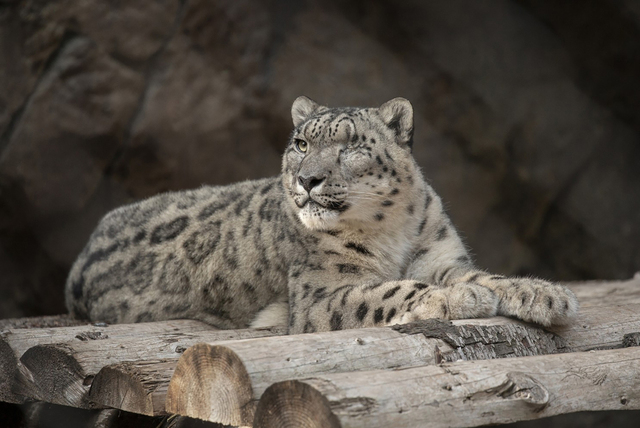 Snøleoparden Ramil har testet positivt for korona og er satt i karantene sammen med tre andre leoparder og snøleoparder han deler innhegning med. Foto: Tammy Spratt / San Diego Zoo Wildlife Alliance / AP / NTB