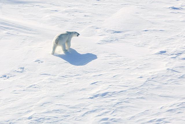 Den genetiske variasjonen blant isbjørn-populasjonen på Svalbard har minket i takt med at havisen har smeltet, viser forskning omtalt av NRK. Foto: Tore Meek / NTB