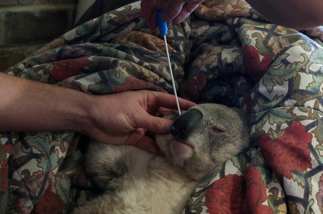 En australsk koala behandles for klamydia.