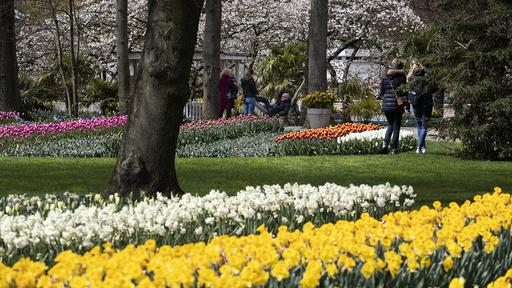 Det er få folkemengder ute i gatene i Nederland for tiden, som her i Keukenhof-hagen i Lisse, men fra og med neste onsdag vil samfunnet gradvis åpne opp igjen. Foto: Peter Dejong / AP / NTB