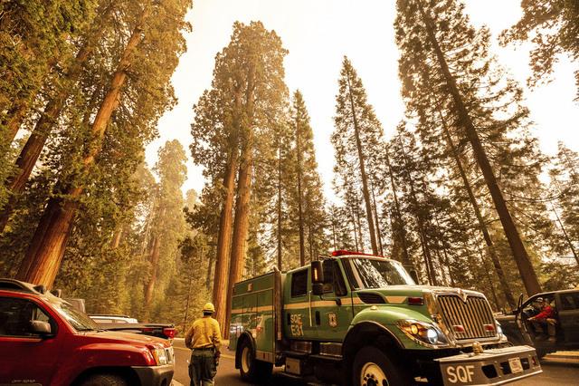 Brannbiler ved urgamle sequoia-trær som trues av en enorm skogbrann i California. Foto: Noah Berger / AP / NTB