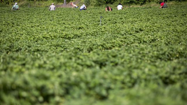 Jordbærplukkere i Asker i 2017. Nå reduseres en ny tilskuddsordning for opplæring av sesongarbeidere i landbruket.