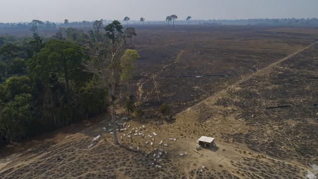 Storfe gresser på et avskoget område av Amazonasregnskogen i delstaten Pará i Brasil i 2020.