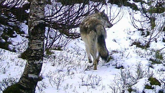 Her er ulven fanget på viltkamera i Fjaler 17. mai i år.