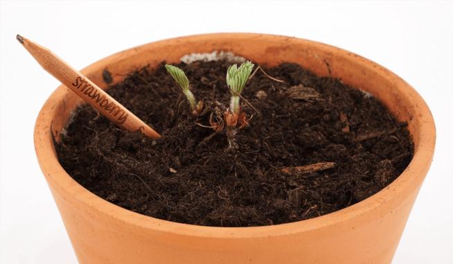 <p><b>KAN PLANTES:</b> Når Sprout-blyantene er brukt opp, kan de puttes i jorden og gi grønnsaker eller bær. Akkurat denne blyanten blir til en jordbærplante. </p>