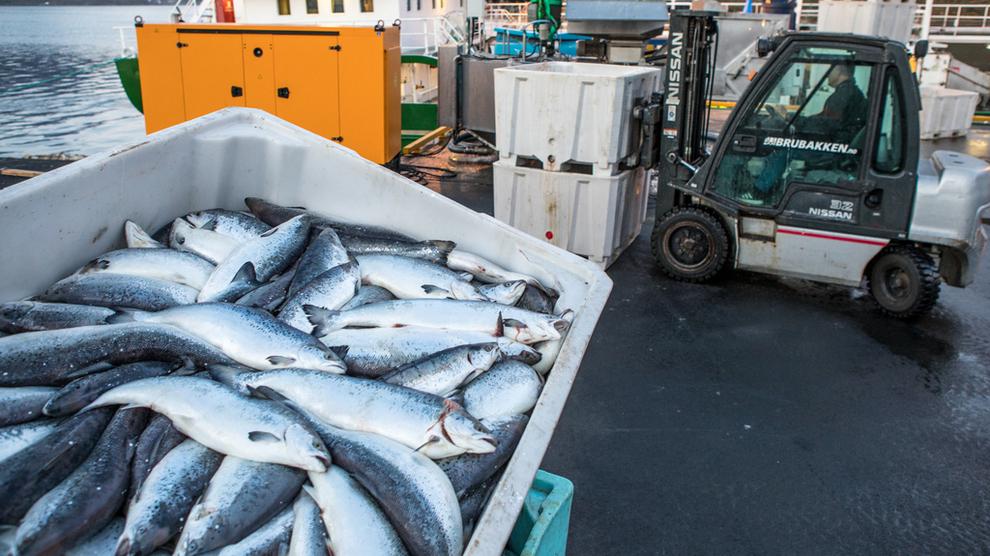 <p><b>ALVORLIGE FØLGER:</b>Algeinvasjonen fører til omfattende laksedød i noen av Norges største oppdrettsfylker, Nordland og Troms. Bildet er fra Northern Lights Salmon i Grovfjord i Skånland kommune.</p>
