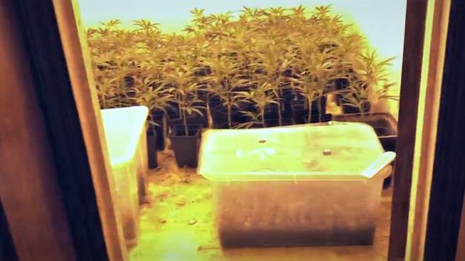 <p><b>CANNABIS-PLANTASJE</b>: I en bolig et sted på Romerike sto ca. 500 hasjplanter slik da huseieren oppdaget plantasjen forrige uke.</p>