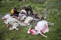 Omstridt jakthund i beredskap for å jage ulv i Norge