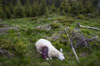 Slapp unna i natt: Derfor vil de ikke jakte ulven med helikopter