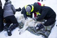 Rovdata: – Ikke vært flere ulver på lenge