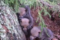 Tolv ulvevalper født i Hedmark