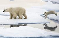Ny, amerikansk rapport: Menneskeskapte klimaendringer er den største trusselen mot isbjørner