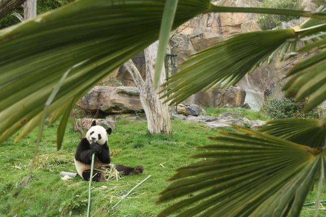 <p>KINESISK EIENDOM: Pandaene forblir Kinas eiendom, selv om de bor i dyreparker i utlandet.</p>