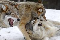 Ulvevedtaket er en seier for demokratiet