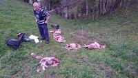 20 sauer trolig tatt av ulv i Askim