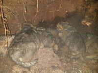 Tolv nyfødte ulver i Hedmark