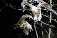 Adrian (11) fant 12 sauehoder hengende i trær
