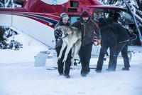 Miljødirektoratet avslår felling av nærgående ulv i Trysil