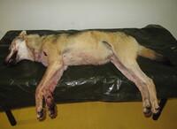 Skjøt ulven mens den jaget saueflokk