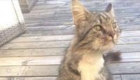 Flere tilfeller av katteaids i Norge:   Katten Gilbert døde