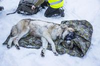 Ulvebestanden må reguleres
