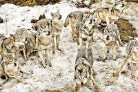 Ny beskatning av ulveflokken kan løse ulvefloken